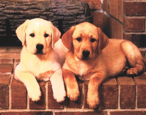 картина за рисуване по номера сладки кученца голдън ретривър